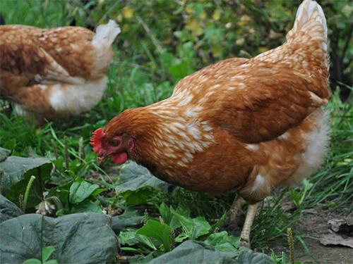 Подкормка куриным пометом является самым ценным органическим удобрением