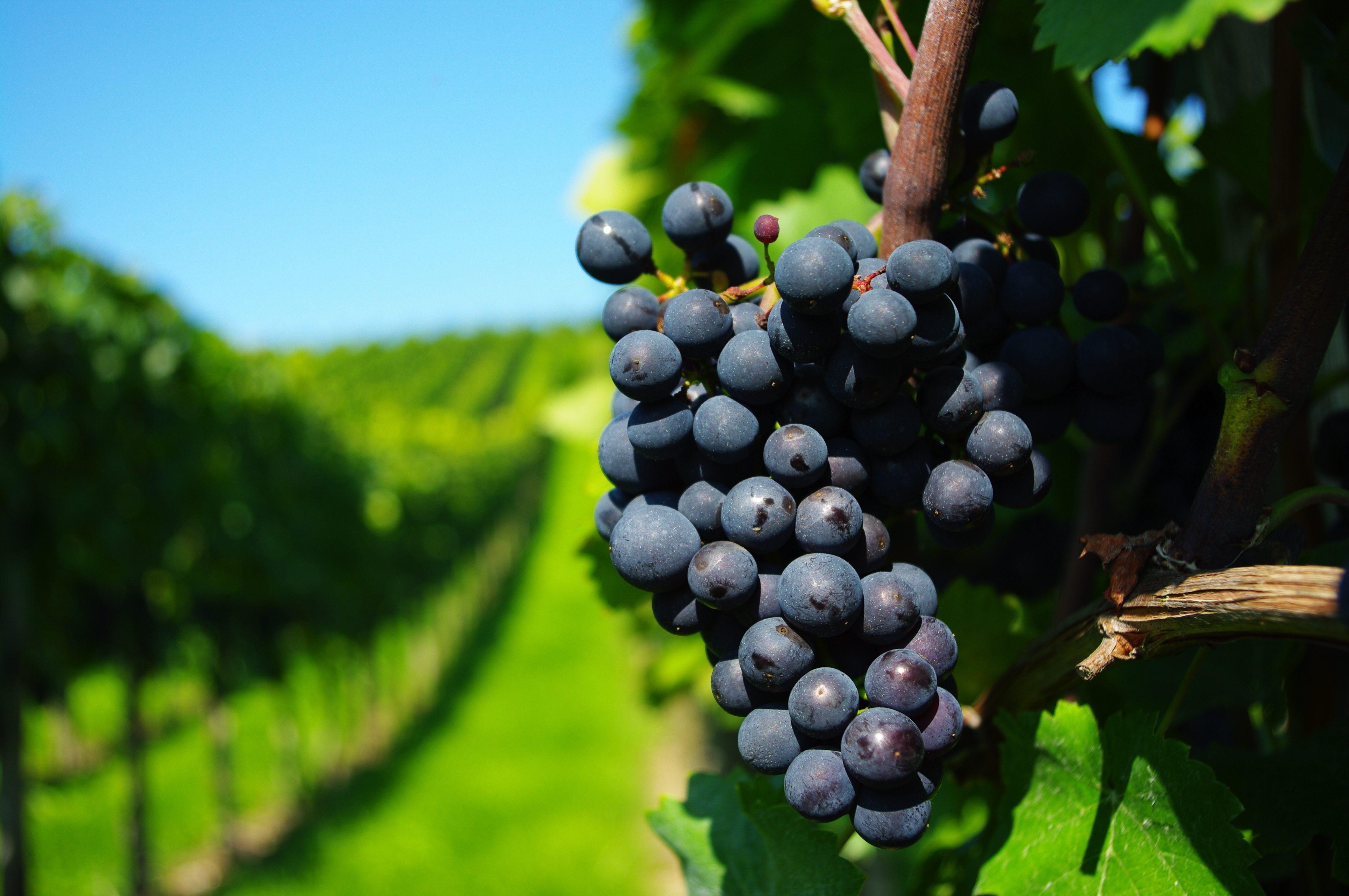 Правильно подкормленный виноград весной в состоянии сформировать гроздья с достаточно крупными ягодами