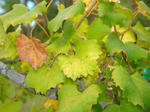 Хлороз развивается из-за избытка извести в почве