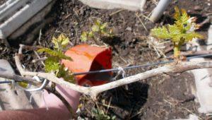 Полноценная подкормка винограда производится раз в пару лет