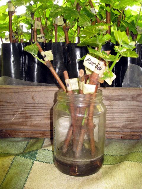 Проращиваем черенки винограда в домашних условиях