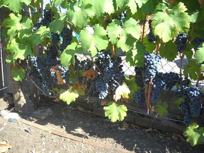 """Из винограда """"Регент"""" получается качественное и вкусное вино"""