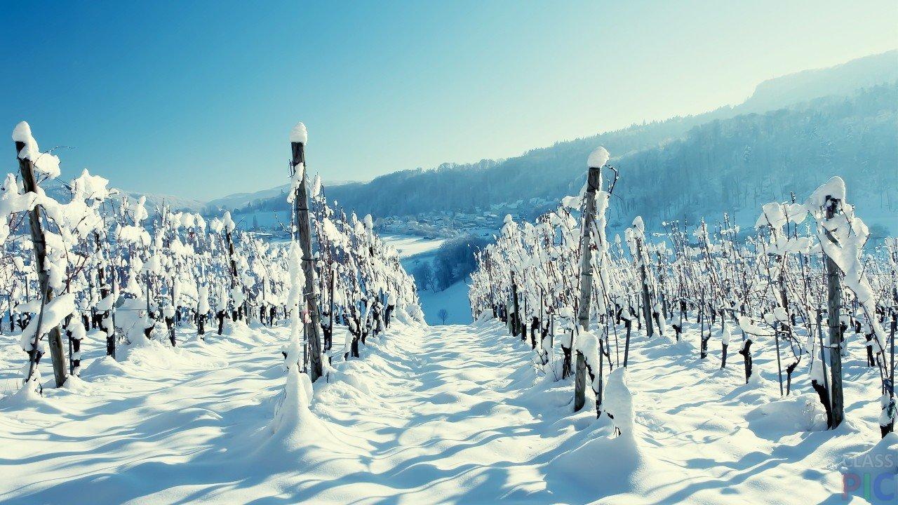 При постепенном закаливании виноград перезимует без вреда