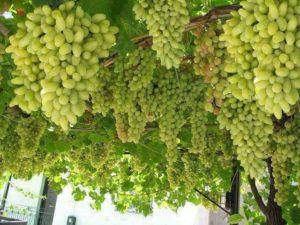 Виноград по праву считают наиболее требовательной культурой