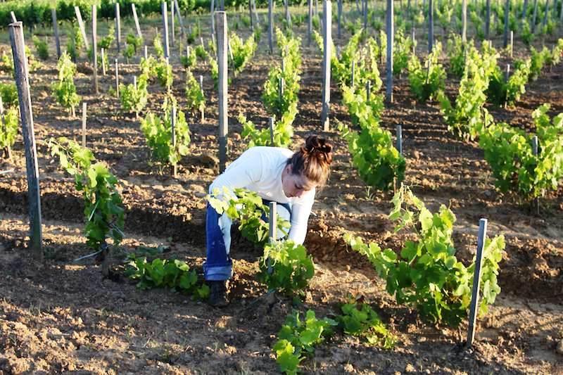 Výsledek obrázku pro виноград уход