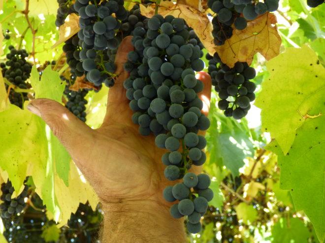 Виноград формировка односторонний веер – один из часто используемых вариантов