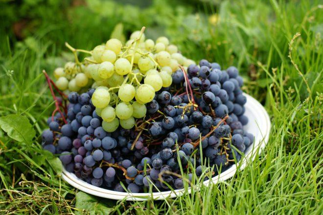 Выращивание благородных сортов винограда традиционно относится к земледелию теплых климатических зон