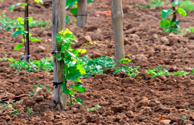 Когда на участке растет виноградник, то истощения грунта не миновать