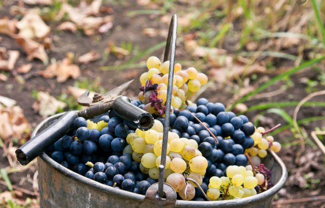 Виноград в Венгрии начали культивировать еще в 276 году