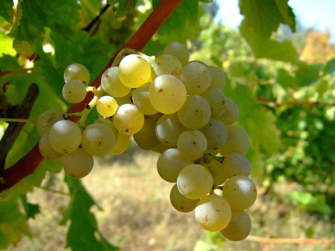 Для приготовления вин используют виноград специальных технических сортов