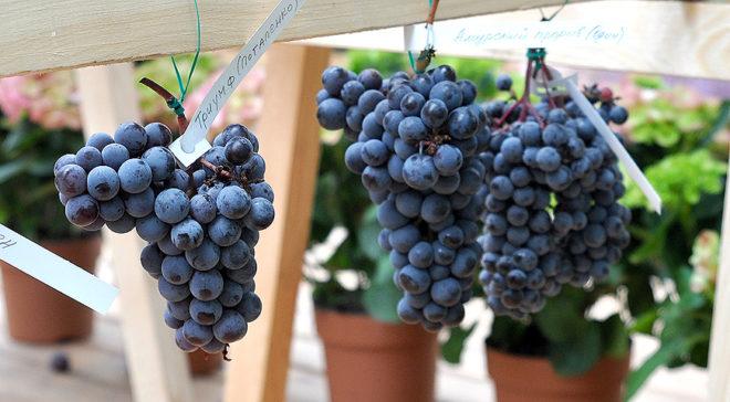 Удивительно, но виноград может прижиться и на суровом Урале