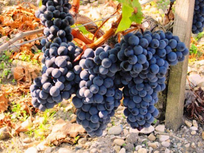 Свое название виноград Мерло получил благодаря схожести по цвету с птицей дрозд