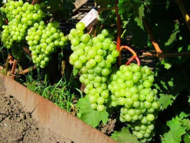 Одним из ранних и урожайных видов является виноград Шасла
