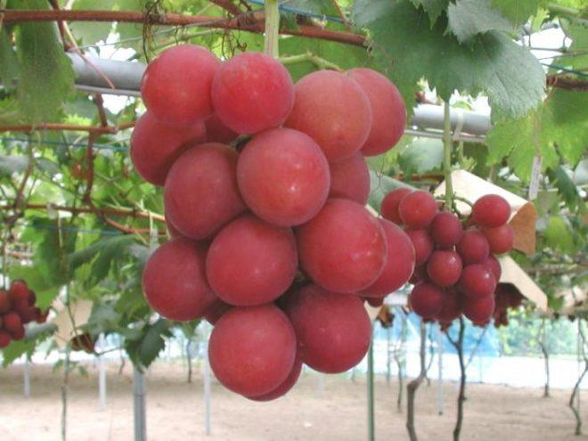 Столовый виноград София отличают величина грозди, красота и наполненность кисти