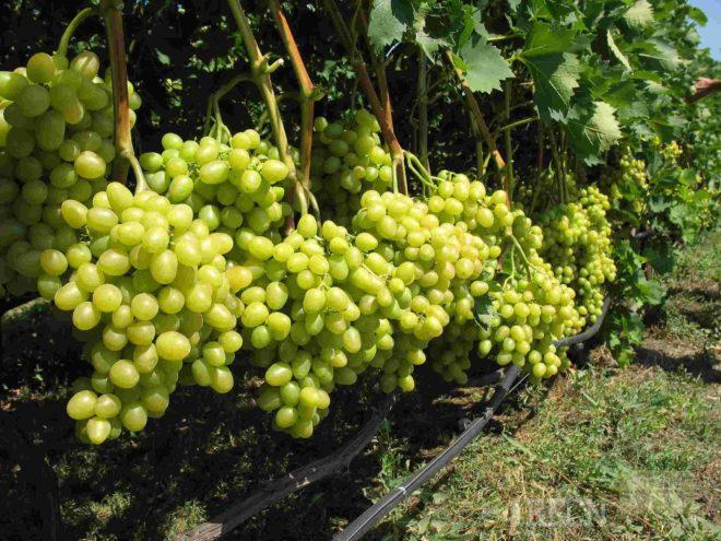 Виноградные кусты в процессе роста и развития поглощают не только полезные для увеличения урожая углекислый газ и воду