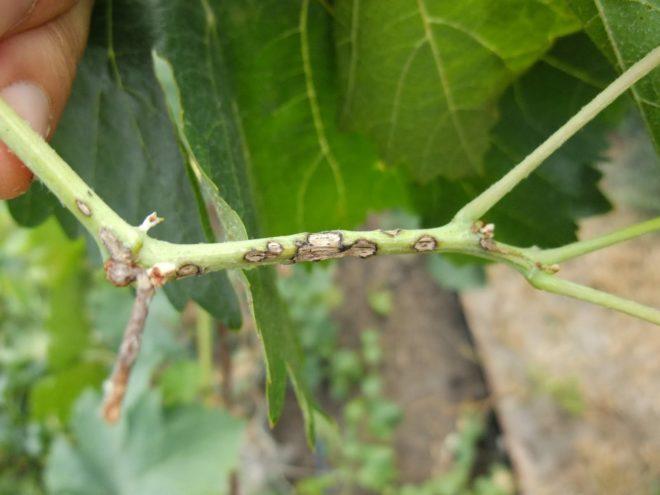 Вырастить виноград довольно сложно, так как частые болезни убивают плоды