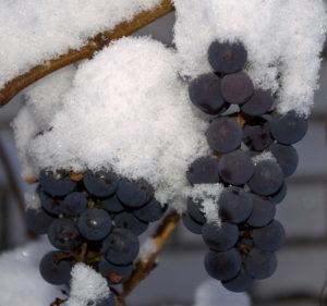 Получение хороших сортов винограда возможно и в холодной бескрайней Сибири