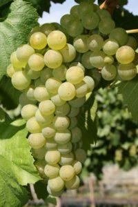 Морозоустойчивость сорта винограда Шасла средняя
