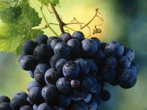 Второе наименование данного виноградника – Кинельский ранний