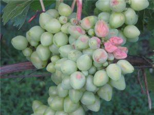 Ягоды винограда с тонкой кожицей подвержены такой болезни, как кислотная гниль