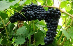 Благодаря современным методикам селекции виноградари располагают большим выбором растений для культивирования на Севере