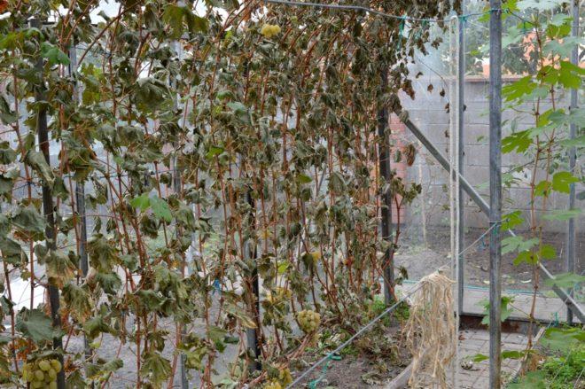 Недостаток бора может даже вызвать гибель молодого винограда