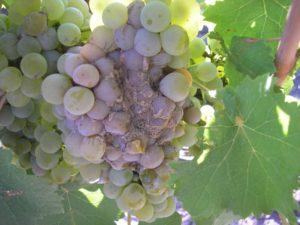 Аспергиллезная гниль опасна не только в период активного роста и созревания, но и хранения гроздей винограда