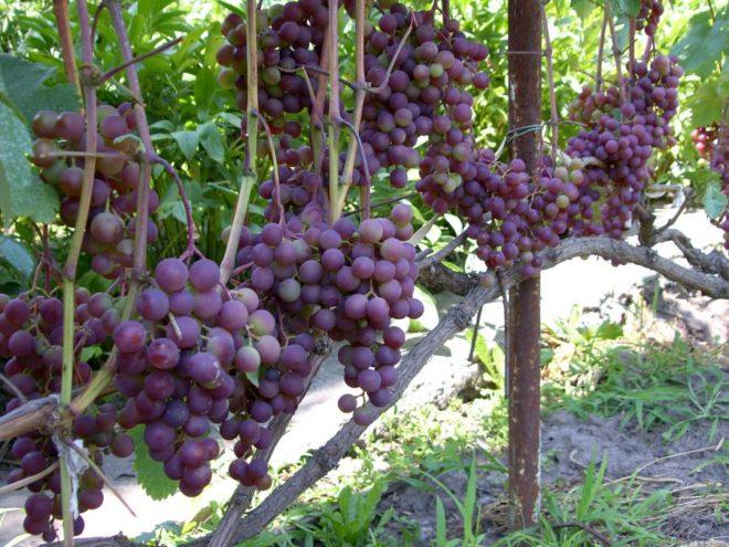 Специально секционированный для холодных областей России сорт столового винограда по праву носит название Русский ранний