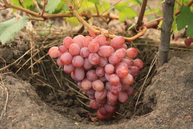 В процессе выращивания винограда правильная диагностика почвы и самого растения очень важна