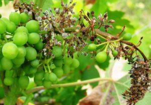 Милдью - самое распространённое заболевание винограда открытого грунта