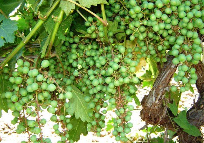От неинфекционных болезней страдает не только лоза, листья, но и грозди винограда