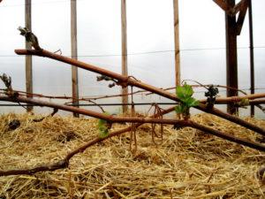 Из-за нарушения обмена веществ в виноградной лозе, могут начать засыхать побеги