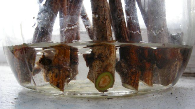 Для проращивания саженцев винограда в домашних условиях не нужно особенных умений