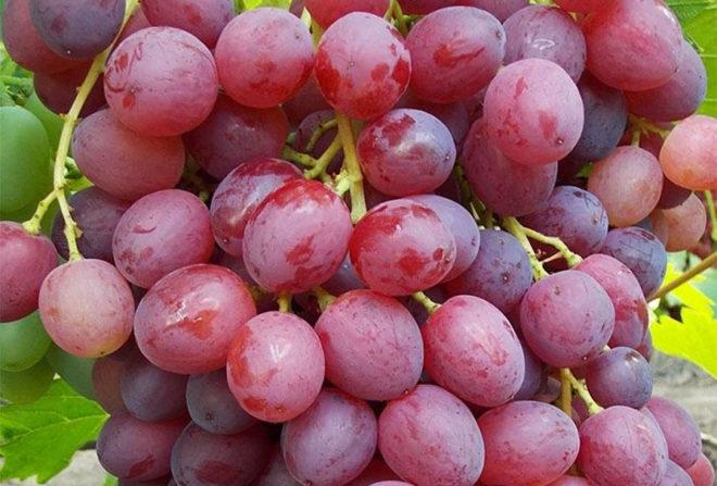 Виноградная лоза очень привередлива в плане ухода
