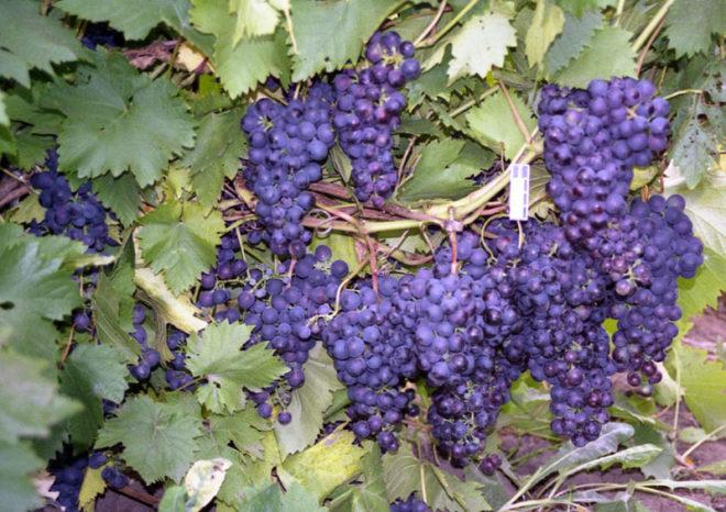 Виноград неприхотлив, однако, может одичать и не плодоносить