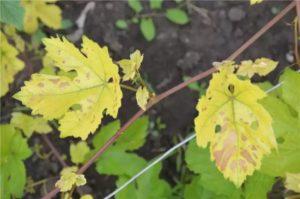 Хлороз вызван нехваткой железа в почвах
