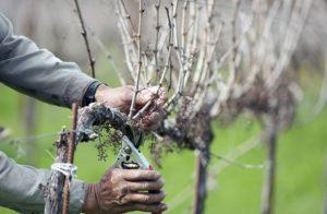 Задача винодела или дачника – своевременно удалить новые побеги, листья и завязи