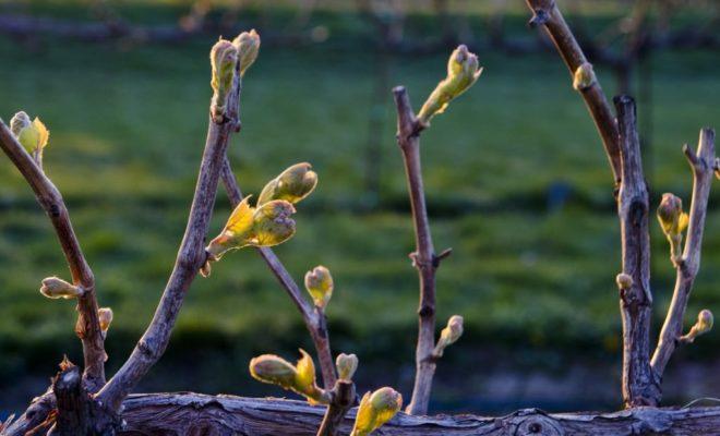 Главная задача пасынковой почки – развивать и восстанавливать поврежденные части виноградного куста