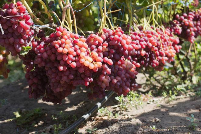 Характерная особенность Велеса в том, что на побегах, где имеются грозди, появляются пасынки