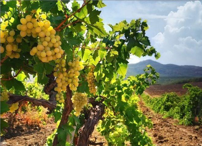 Полив кустов молодого винограда отличается от взрослого
