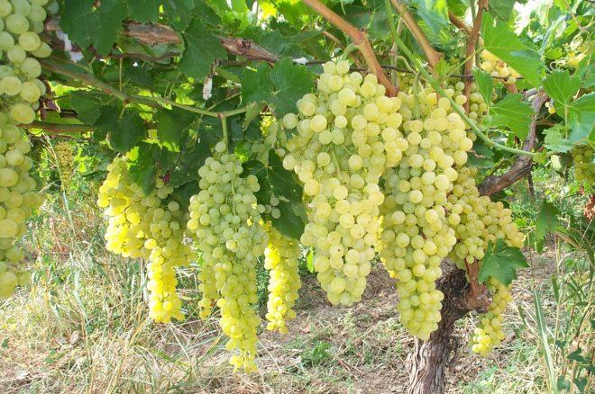 Фаворитом любого фруктового сада является виноград