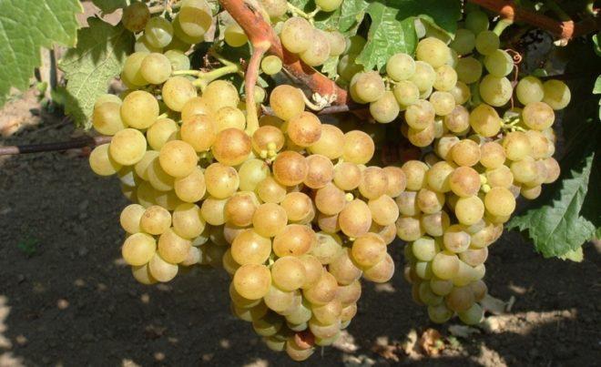 Кишмишем называют виноград с недоразвитыми косточками или лишенный их полностью