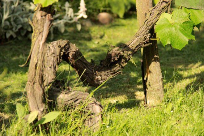 Виноградные сорта отличаются разной степенью устойчивости к инфекциям