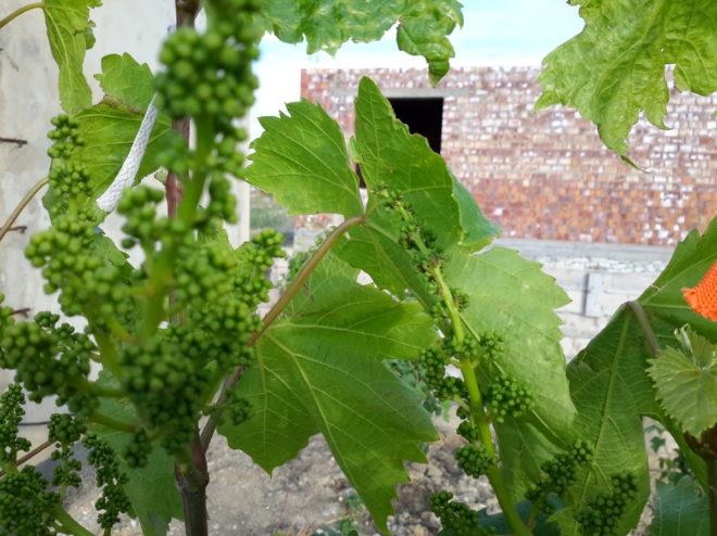 Виноградные листья крайне уязвимы перед лицом многочисленных болезней