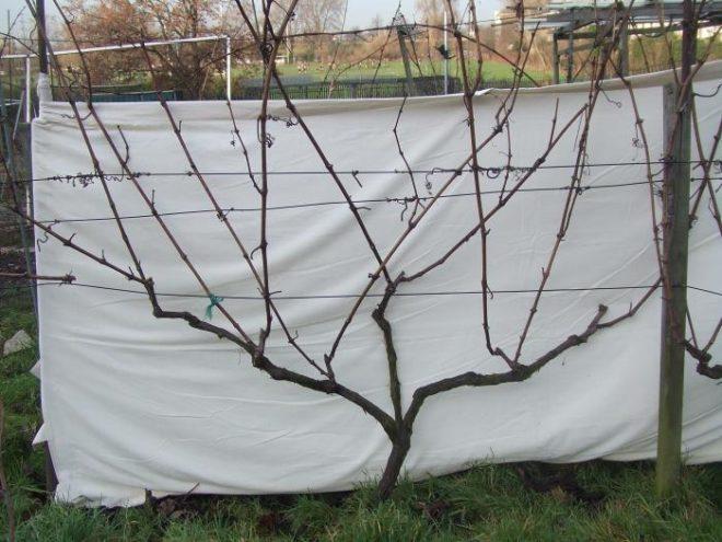 Плодоносность винограда зависит от многих факторов