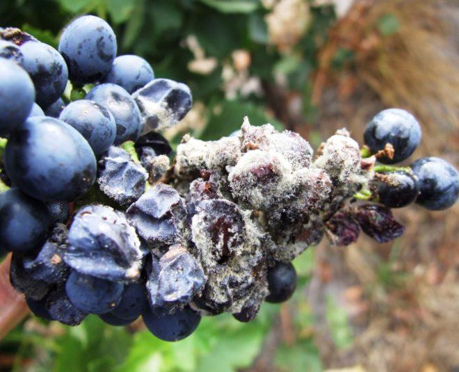 Серая гниль наносит неисправный и сильный вред всем виноградникам