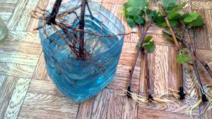 Черенки винограда пересаживать легче и проще