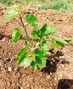 Молодому винограду необходима рыхлая почва