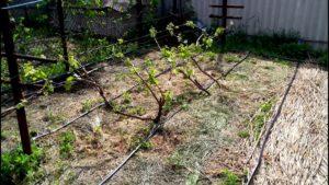 Частота и качество полива зависит от места, где растёт виноградник