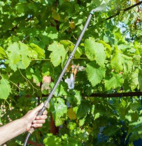Обработка винограда предусматривает и опрыскивание прилегающей к кусту территории